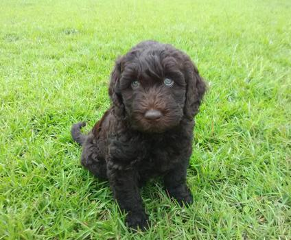 Chocolate Labradoodle NC